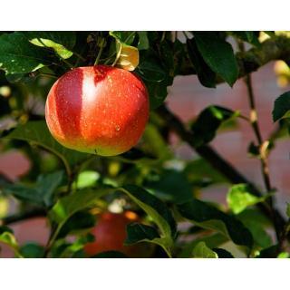Äpfel versch.